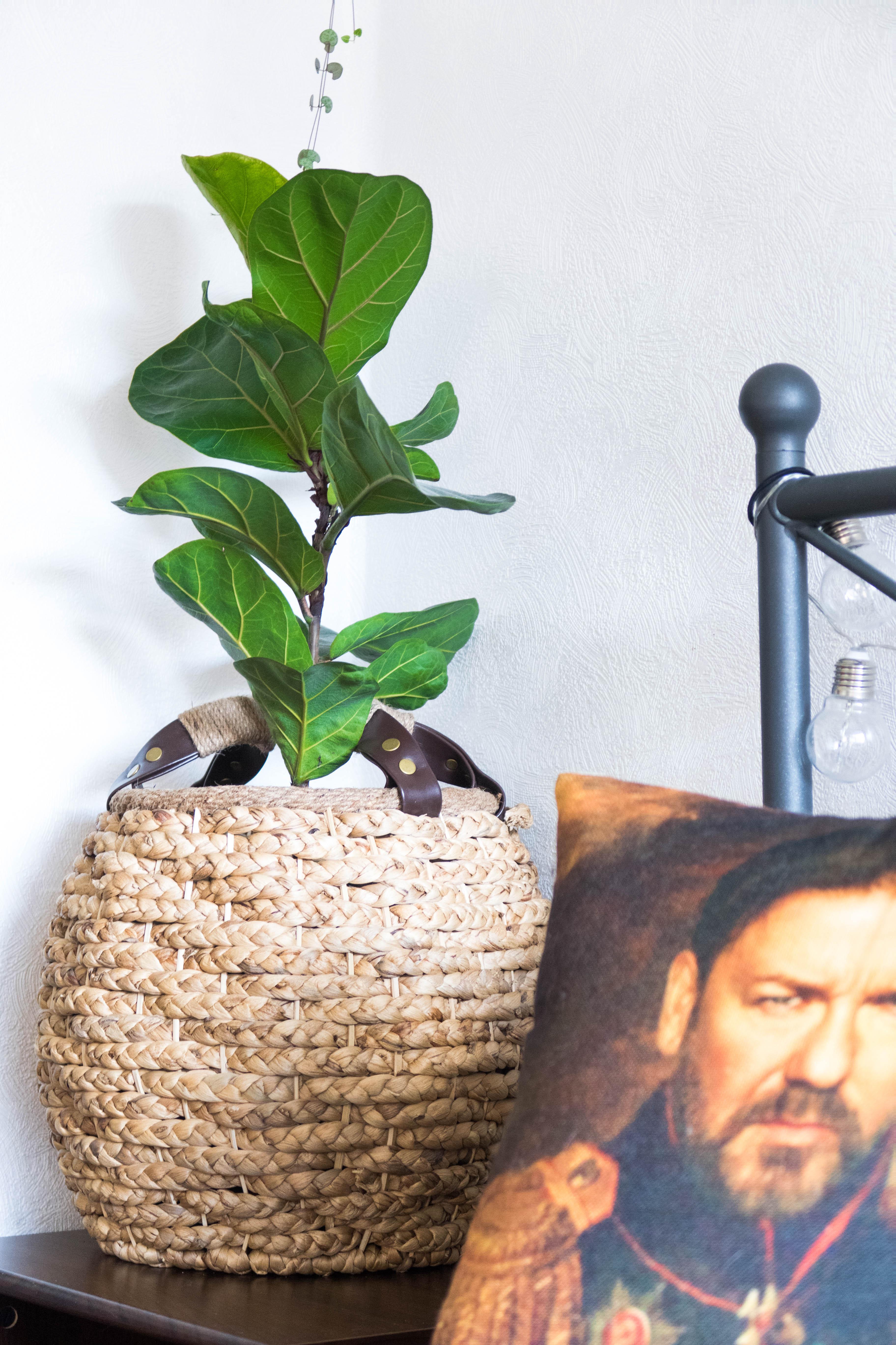 Ficus lyrata indoor jungle interior garden how to