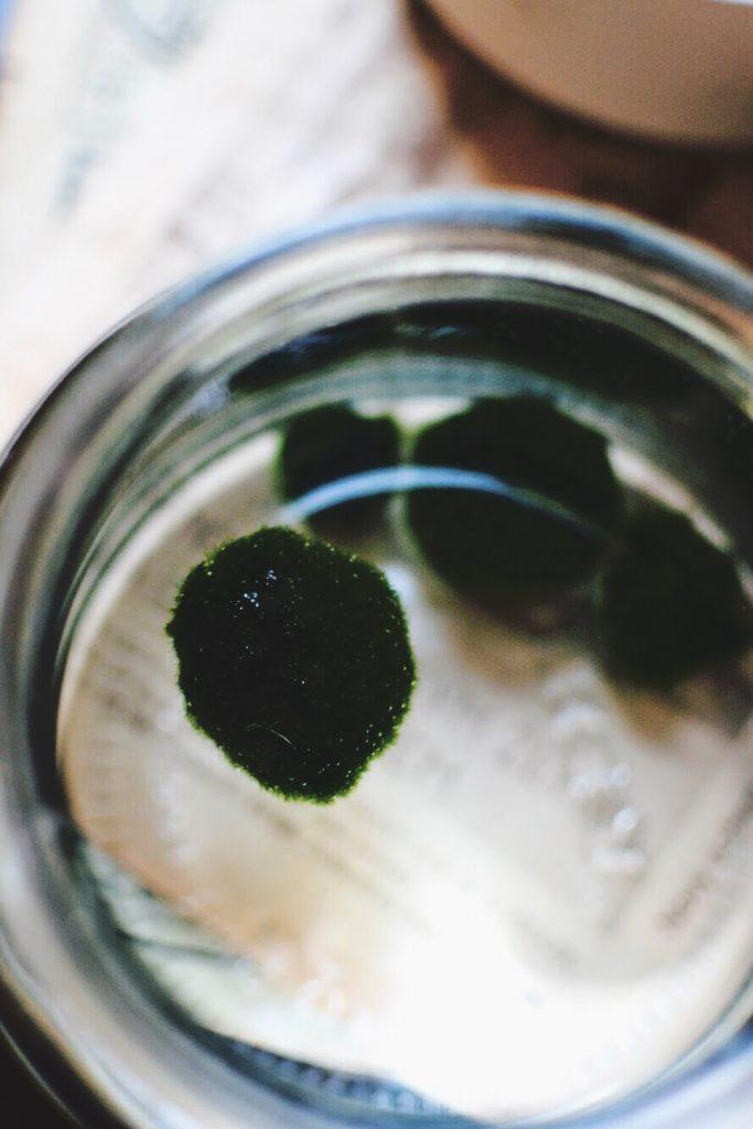 How to grow lake midgets marimo balls moss balls